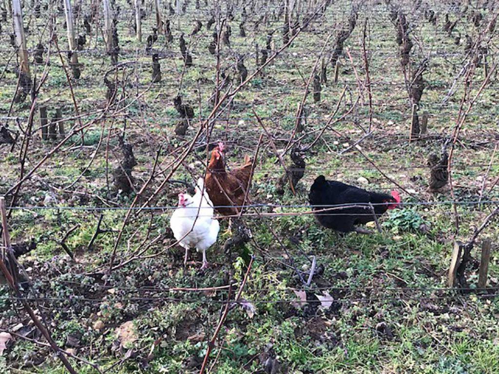 Des poules au  Clos Royer